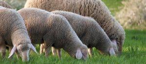 A SAMINA dream made of merino sheep wool